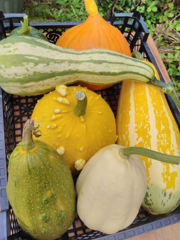 large gourds